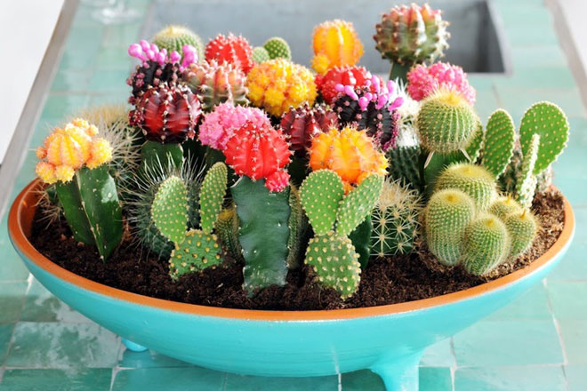 Mixture of colourful cactus which can be grown in pots