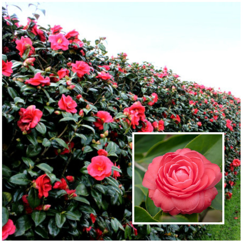 Our favourite 8 flowering hedges httpburkesbackyardfact sheetsin the gardengardening styles and featurecamellia japonica hedge mightylinksfo