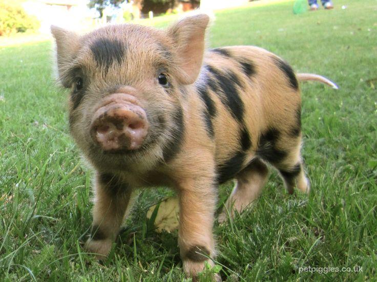 Caramel mini pig