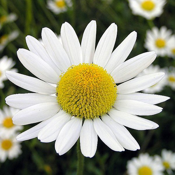 Chamomile which can be infused in hot water for drinking