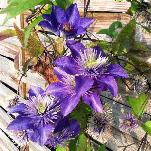 Clematis flower growing up a fence