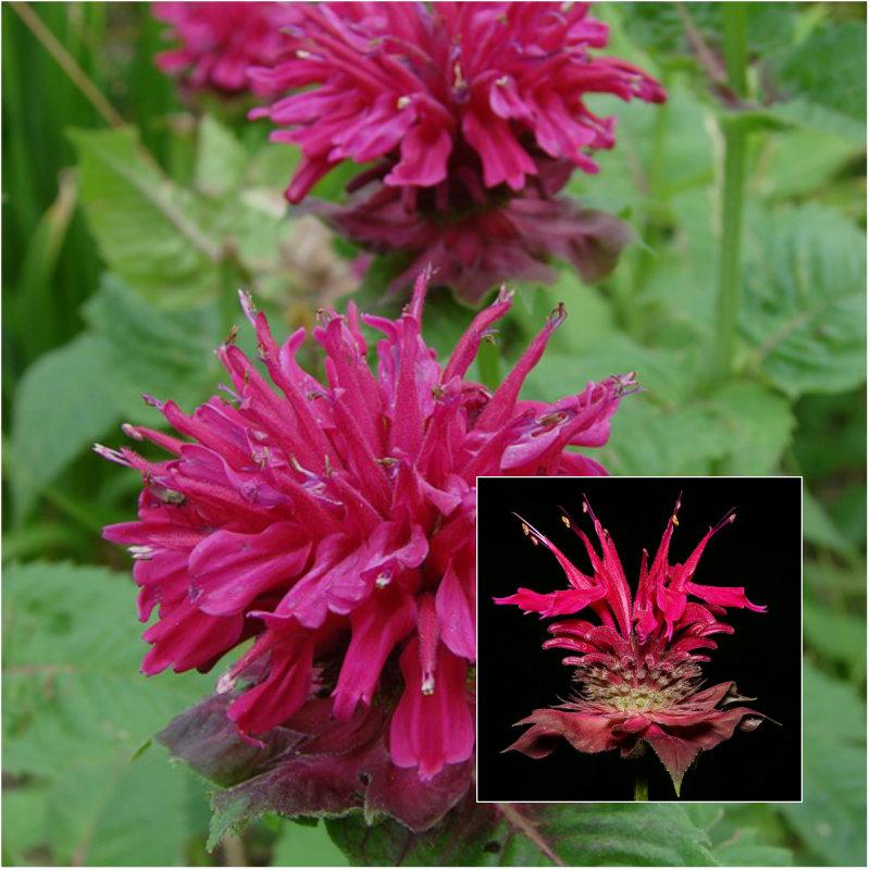 raspberry bee balm flower