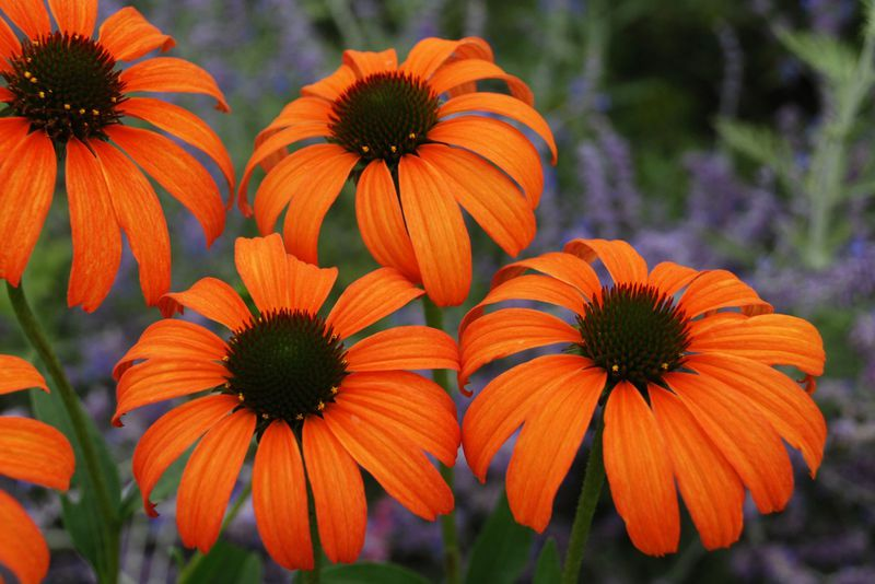 Easy to care for Coneflower plant