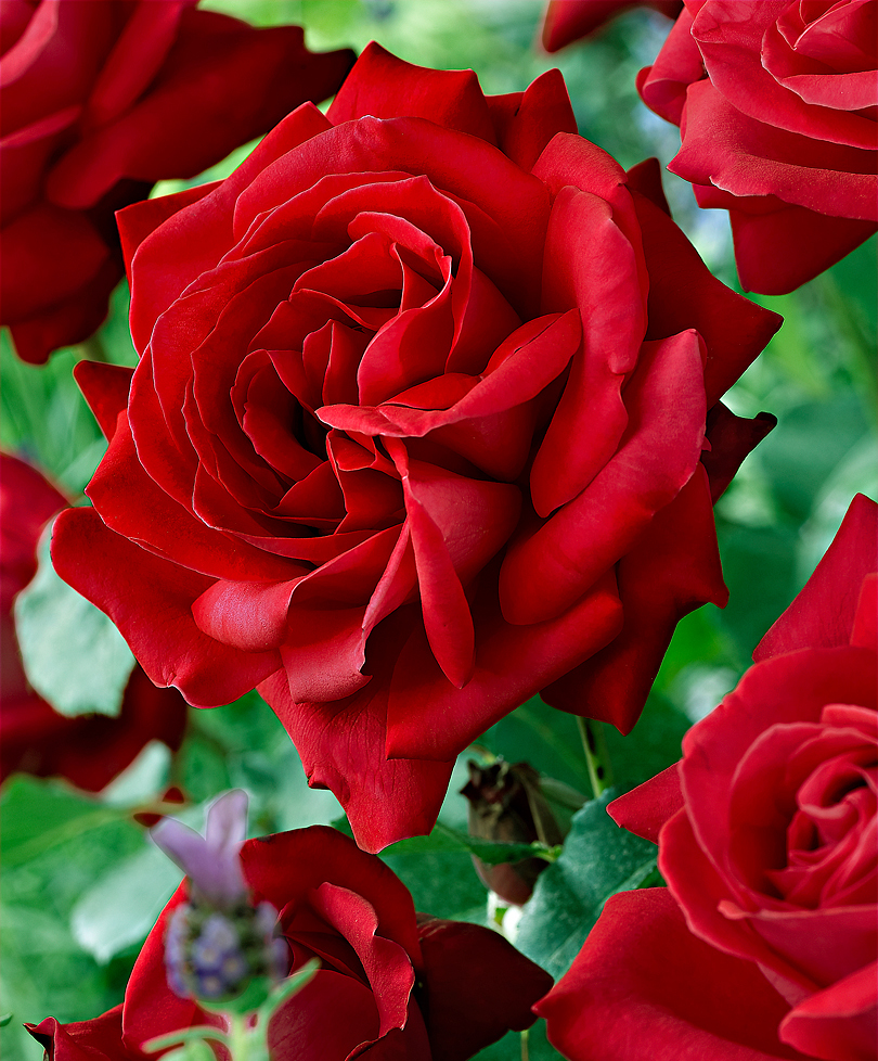 Red Rose Dame de Couers