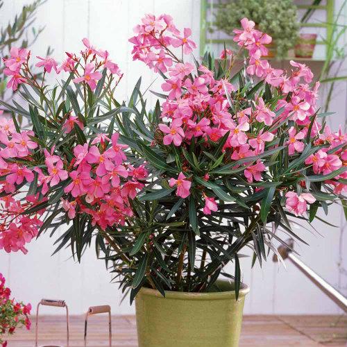 Dwarf oleander (Nerium oleander)