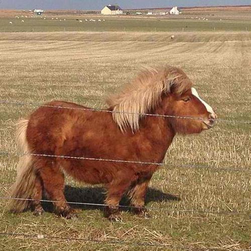 big shetland pony