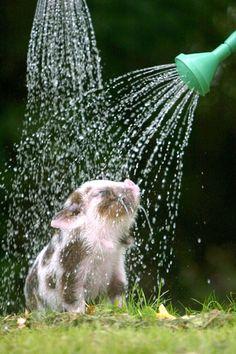 mini pig having a shower in the garden