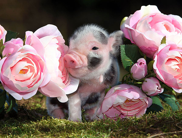 Mini Pig and a Rose