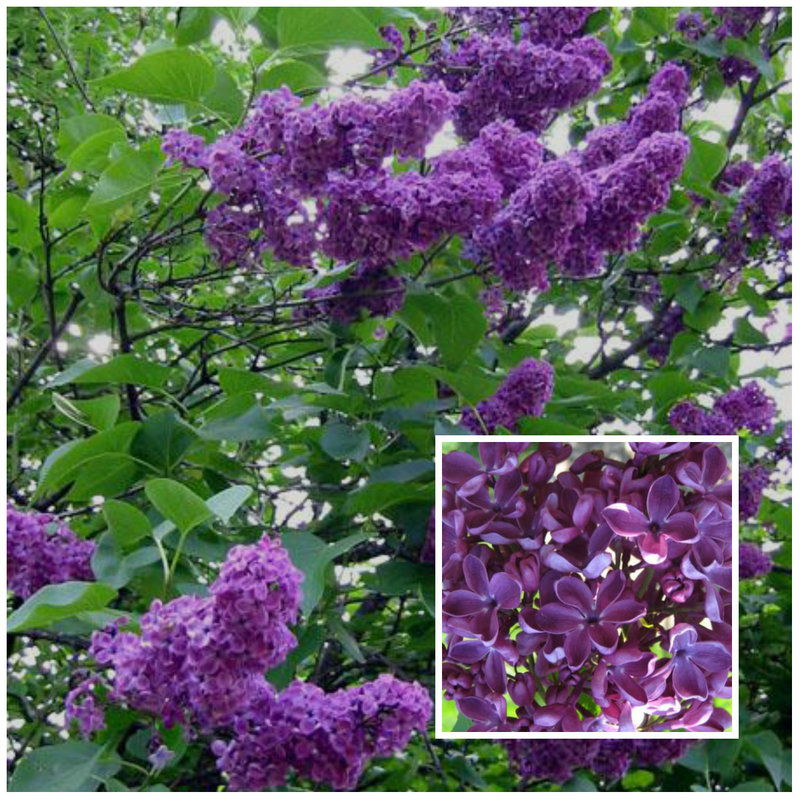 Our Favourite 8 Flowering Hedges