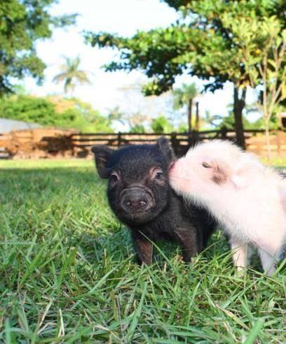 baby goat kisses mini pi