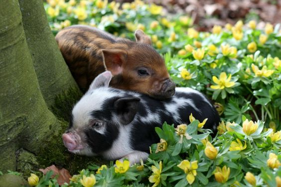 mini pig friends in the garden