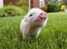 mini pig in the garden