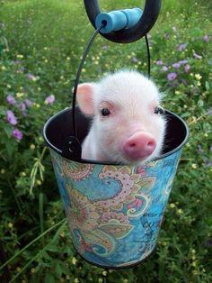 mini pig in a bucket