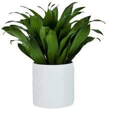 Janet Craig plant
