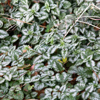 Lamium - green and silver leaves