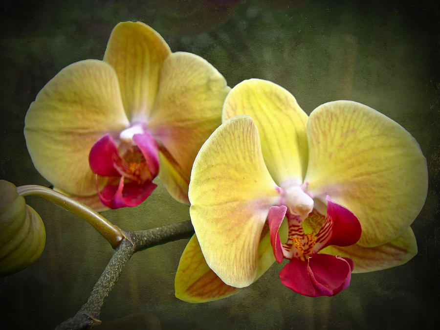 Yellow Moth Orchid which can be grown in pots