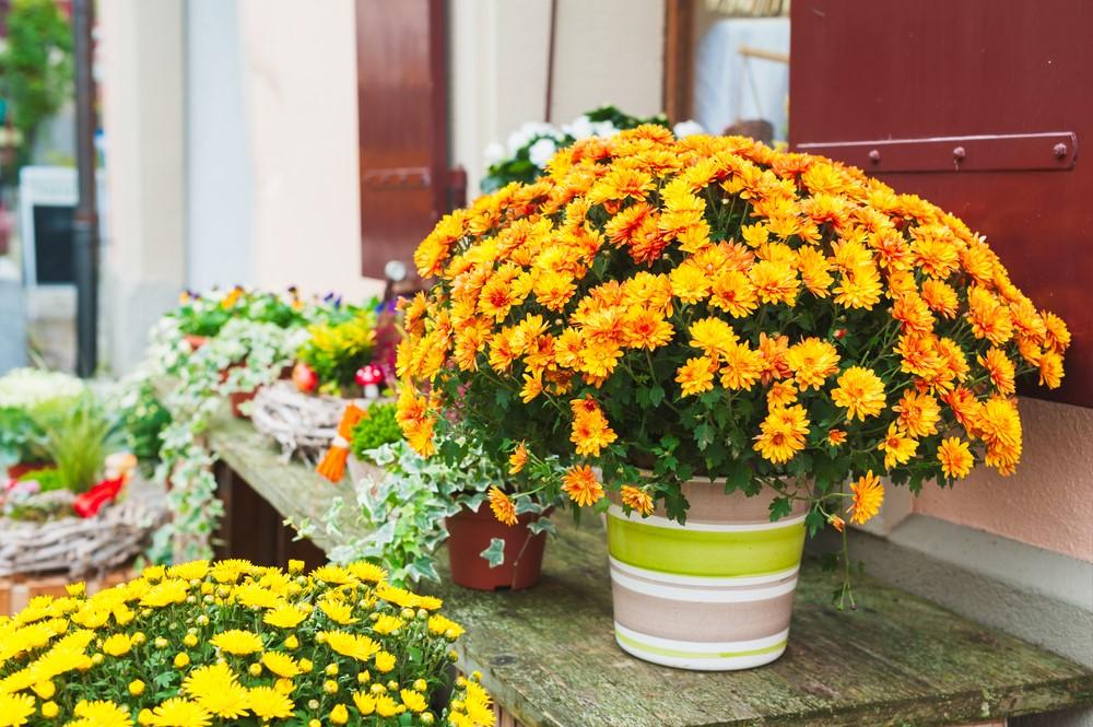 mum flowers chrysanthemums