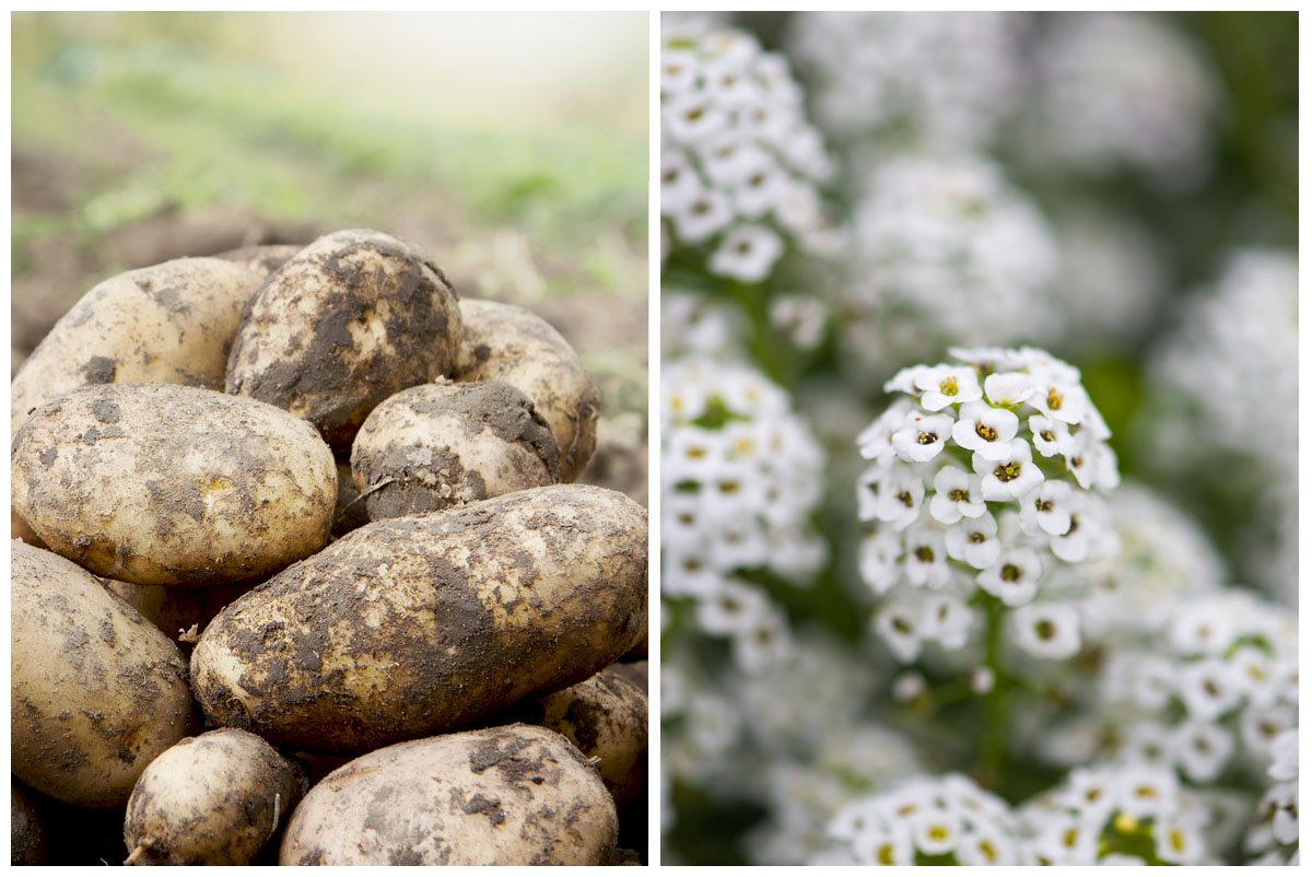 Potatoes and sweet alyssum