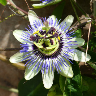 Close up photo of a Passion Flower