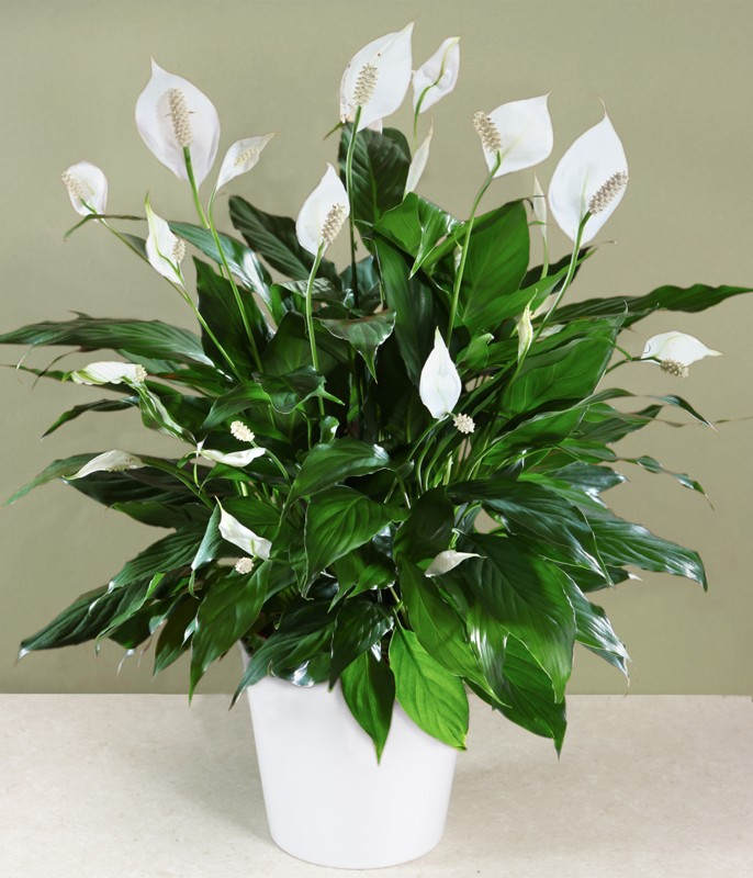 Whit Peace Lily which can be grown in pots