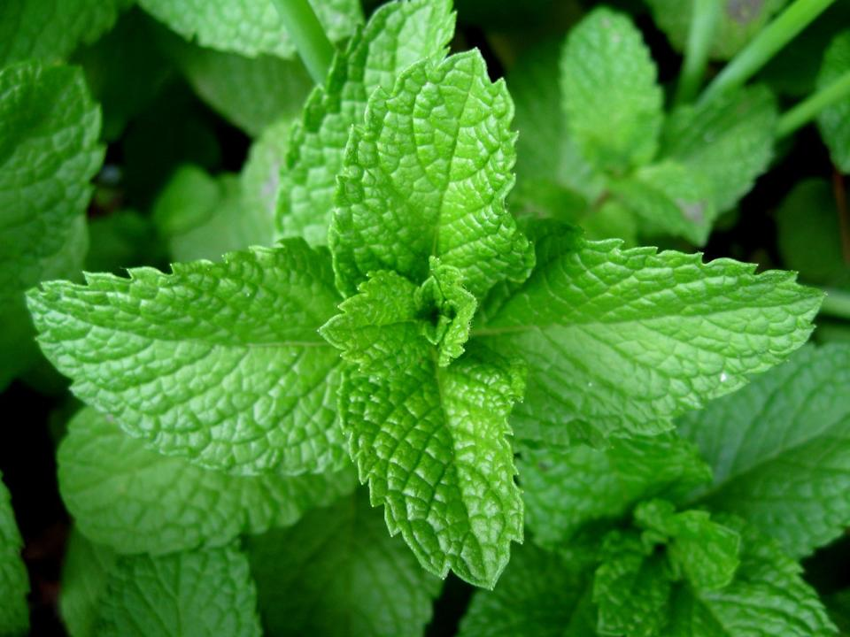 Mint which can be infused in hot water for drinking