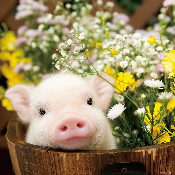 mini pig in a bucket with flowers