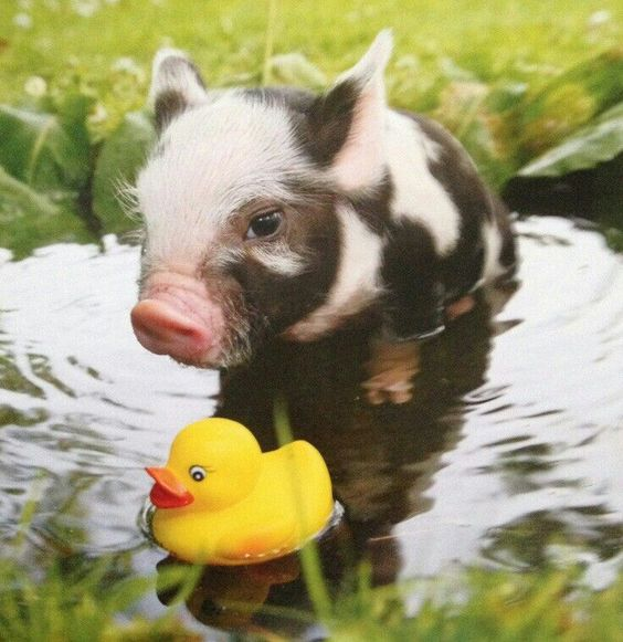 mini pig in the water with rubber duck