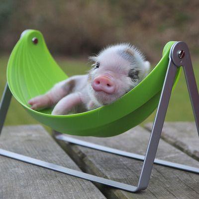 mini pig in a hammock