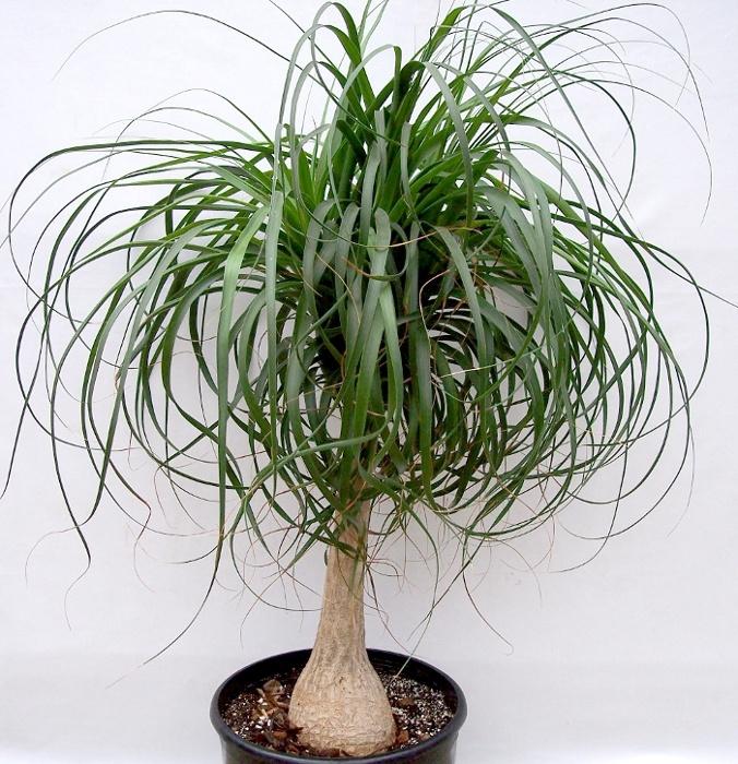 Ponytail palm - Beaucarnea recurvata - selecting succulents