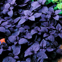 Purple Basil - Dark purple leaves