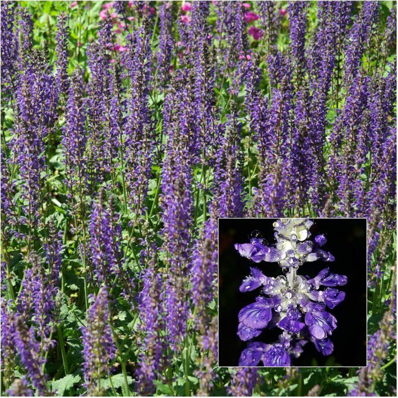salvia purple flower