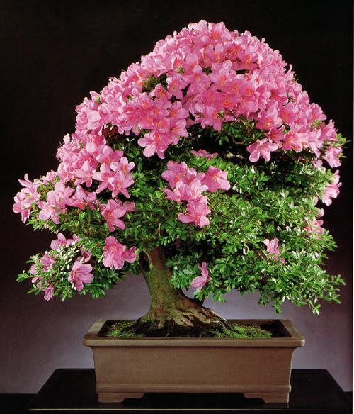 how to take care of an azalea bonsai tree