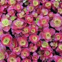 Sedum - Dragons Blood - Purple/red and green leaves