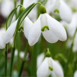 Photo of white flowers - snowdrops - Galanthus