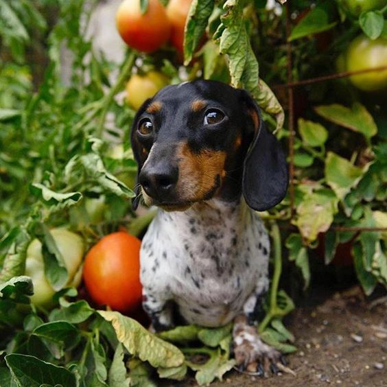 sausage dog and vegetable;e patch
