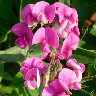 Pink Sweet Pea Flower