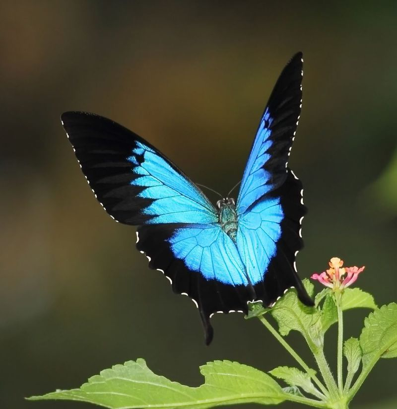 Ulysses Swallowtail Butterfly - Electric Blue and Black